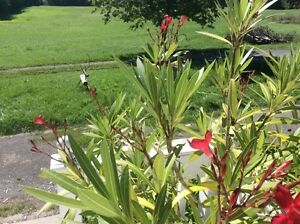 OLEANDER PLANT Peterborough Peterborough Area image 2