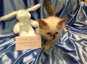 """""""Gizmo"""" a Purebred Chocolate Mitted Ragdoll kitten (Male)"""