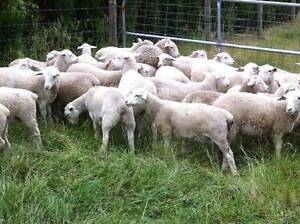 Dorper Wether Lambs For Sale Tullamarine Hume Area Preview