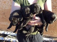 Puppies for sal