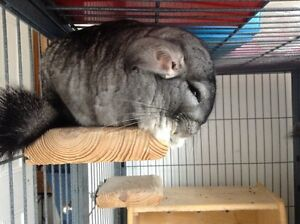 2 chinchillas for sale with cage