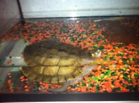 Mississippi map turtle with tank