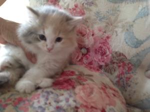 Female fluffy kitten