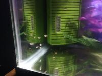 Silver Lyretail Molly Fish Fry for sale