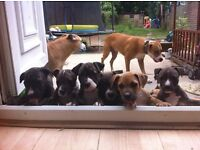staff cross puppies ready to go now 8 weeks old 5 boys 8 girls kids friendly pups