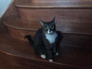 Tabby Cat Lost in Kingsbridge, Amherstburg