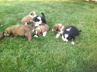 Bernese Mountain Dog cross Great Pyrenees puppies