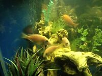Trading / selling African n some South American cichlids