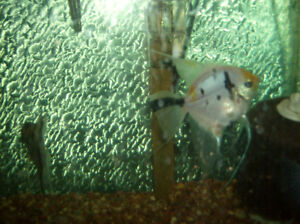 ANGEL FISH - home grown - full adults