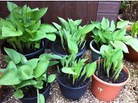 Hosta (Undulata erromena) Garden Plant in Pot