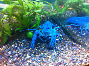 A blue crayfish (lobster)