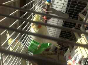 Lutino Pearl Cockatiels with Cage & Accesories