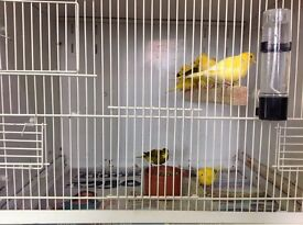 Canaries for sale, Canarys, Birds for Sale