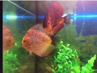 Discus pair cheap
