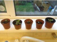 Money plants for sale
