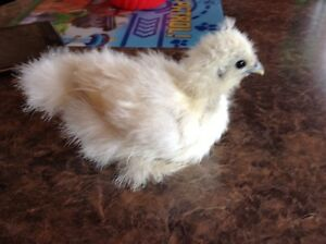 Baby silkies for sale