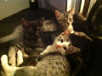 2 Bengal looking inside kittens need their forever home!