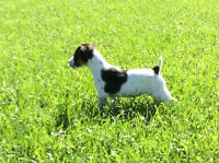 Playful purebred Jack Russel female puppy