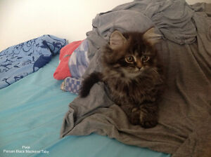 Persian kitten looking for home