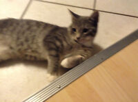 Lost grey striped female tabby, near LCI.