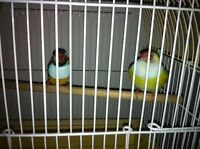 One pair gold finch