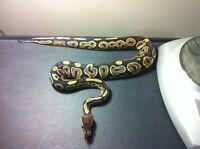 0.1 Black pastel and 1.0 black bee ball pythons