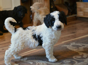F1B Bernedoodle puppies just in time for Xmas Belleville Belleville Area image 7