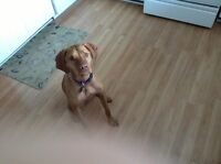 Vizsla breed dog looking for new loving home