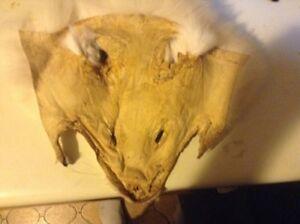 Real white fox head skin Sarnia Sarnia Area image 2