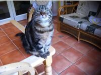 Missing tabby female upper Malone rd area