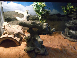 Bearded Dragon, Terrarium and accessories