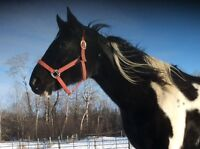 11 yr old black and white paint mare brake