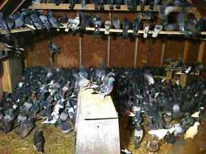 Pure racers and barn pigeons for sale