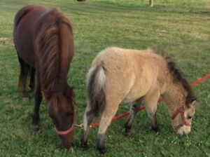 Miniature horse and foal for sale