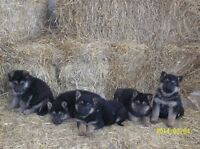 German Shepherd Pups - just in time for Christmas !!!