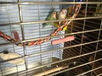 One breeding pair lovebirds