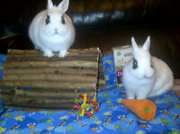 BUNNY RESCUE- Hi we are Alvin & Britanny and we need a home