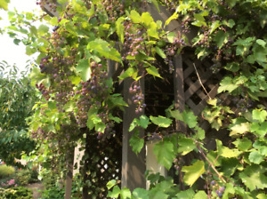 CONCORD GRAPES for jelly or wine.