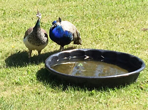 pair of spring 2015  old Indian Blue peacocks