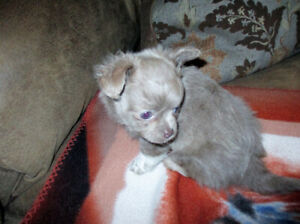 Long Hair Merle Chihuahua