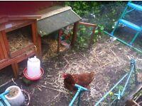 Chicken (hen) still laying for sale