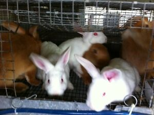 Rabbits New Zealand Whites Reds Black Silver American Chinchilla
