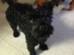 Lost dog in Mont-Laurier on April 19 Gatineau Ottawa / Gatineau Area image 1