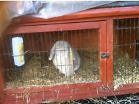 Lop eared rabbit with hutch