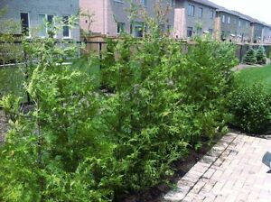 EASTERN WHITE CEDAR FOR SALE ! DELIVERY AND PLANTING AVL !!