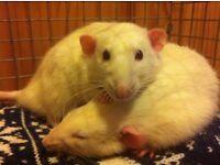 Male Dumbo eared albino Rats