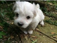 Malti-chon pups for sale ( maltese X Bichon -Frise