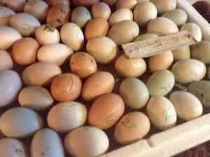 Fertilized Chicken and duck eggs 4 sale