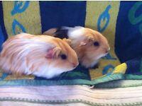 Pair of baby male Longhaired Guinea Pigs
