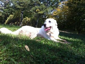 Temporary home for Great Pyreneese.